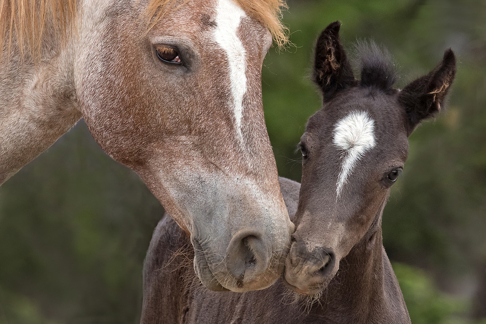 The mare, Ireland, lovingly nuzzles her new filly, Pegasus. Along with her daughter, Limerick, and mares Pococeno and Hera, this pair is part of the stallion, Galaxy's band.