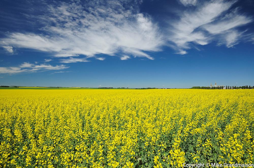 Canola crop and clouds<br /> Somerset<br /> Manitoba<br /> Canada