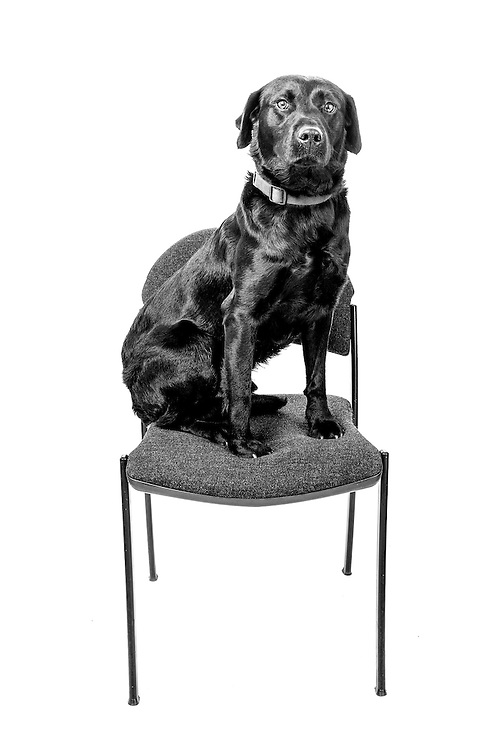 Spud, Labrador, Arms Explosive Search Dog  Veterans Portrait Project UK Sennelager Germany