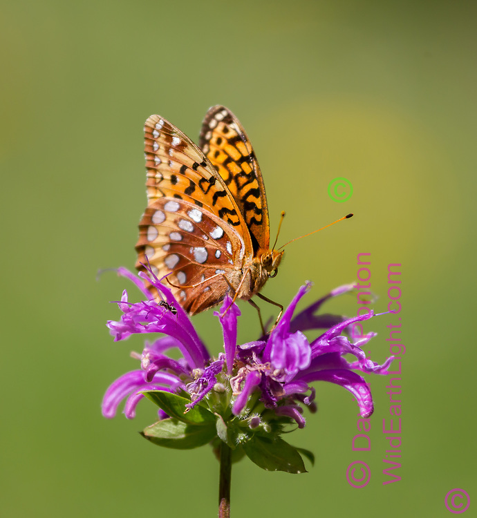 Fritillary butterfly on horsemint blossom in mountain meadow, Jemez Mountains, NM, © 2010 David A. Ponton
