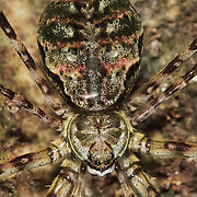 Close up shot of an extremely well camouflaged Two-Tailed spider in the tropical forest waiting for a meal to pass by.