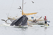 A whale of a tale! Amateur photographer captures stunning shots of humpbacks feeding in California waters surrounded by fearless water revelers enjoying the aquatic spectacle <br /> <br /> An amateur shutterbug happened upon a stunning scene as a pod of humpback whales emerged from the water as a curious crowd of watchers gathered around.<br /> Retiree Bill Bouton was driving in San Luis Obispo, California on Saturday when he glanced over at the coast to see a group of the massive mammals feeding in the shallow waters, which has been occurring occasionally in the area over the past few days.<br /> The 69-year-old managed to pull his car over and set up his camera tripod near the water's edge to capture snapshots of the event.  <br /> <br /> Boaters and kayakers in the waters had cameras of their own poised to take pictures, fearlessly advancing toward the hungry animals, typically from 39–52 ft (12–16 metres) in length with an average weight of around 79,000 lb (36,000 kilograms). <br /> Bouton explained on NBC's Today Show on Monday how he had spent most of the morning that day trying to photograph birds nearby but had been unsuccessful finding any compelling subjects.<br /> <br /> But what started off as a disappointment, ended in triumph as he was able to put his camera gear to good use for an hour as he snapped the aquatic spectacle.<br /> 'I was really lucky,' he said about the turn-of-events on Saturday.<br /> The massive mammals were attracted to the waters in San Luis Obispo, near Los Angeles, as one whale fed on a 'bait ball,' a dense mass of sardines that forms to ward off predators.<br /> <br /> They only feed in the summer and leave off the reserves stored in their bodies during the winter months. <br /> The photographer said that U.S. federal guidelines warn observers to stay at least 100 yards away from whales or risk being fined $50,000. Despite the massive size of the marine mammals and the possibility of being fined, onlookers hovered around the feeding site with some coming just feet away from a whale. <br /> 'The