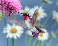 Ruby-throated Hummingbird (Archilochus colubris) feeding on thistle (Indiana)