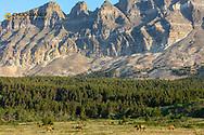 Elk herd in Two Dog Flats in Glacier National Park, Montana, USA