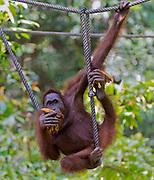 Adult, wild male orangutan feeding and playing in Sepilok Orangutan Rehabilitation Centre, Sabah, Borneo.