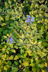 Ceratostigma willmottianum Sapphire Ring syn. 'Lissbrill'. Chinese plumbago
