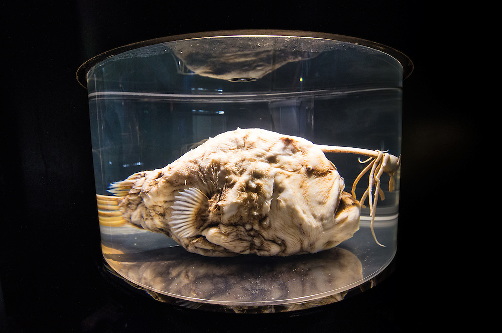 A preserved Pacific Football fish on display at the Cabrillo Marine Aqurium in San Pedro, CA. A preserved Pacific Football fish on display at the Cabrillo Marine Aquarium in San Pedro, CA. Here is one from the archives. A photo of a A preserved Pacific Football fish on display at the Cabrillo Marine Aquarium in San Pedro, CA.
