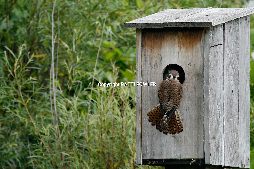 female American Kestrel feeding juveniles