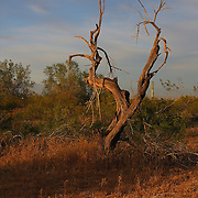 Tree at sunset near the San Tan Mountains