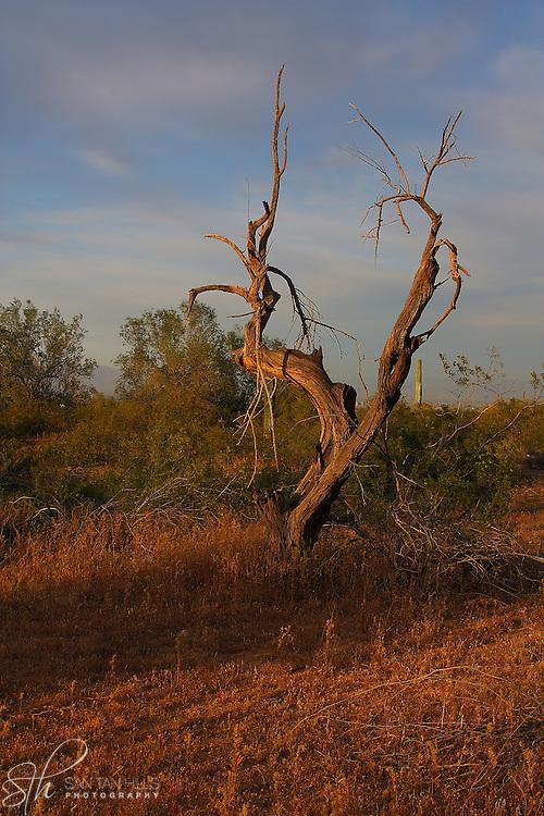 Tree at sunset near the San Tan Mountains
