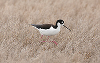 A Black Necked Stilt forages for midges and aquatic insects in the salt grass along the edges of a marsh pond.