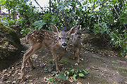 Black-tailed Deer<br /> Odocoileus hemionus<br /> One-week-old orphaned fawns<br /> Kindred Spirits Fawn Rescue, Loomis, California