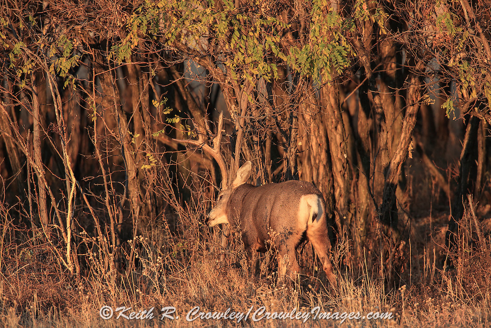 A large buck mule deer rubs his antlers on a small tree in early morning light during the autumn rut.l