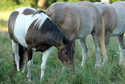 20 October 2007: Horses graze for food in a pasture
