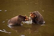 Brown Bear, Fortress of the Bear, Sitka, Alaska