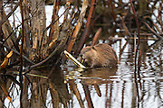Beaver in a pond in Grand Teton National Park