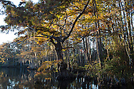 Moss on cypress trees in Big Branch Marsh National Wildlife Refuge in St. Tammany Parish, Louisiana.