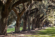 A row of ancient live oak trees draped with spanish moss form a tunnel at Boone Hall Plantation in Mt Pleasant, South Carolina.