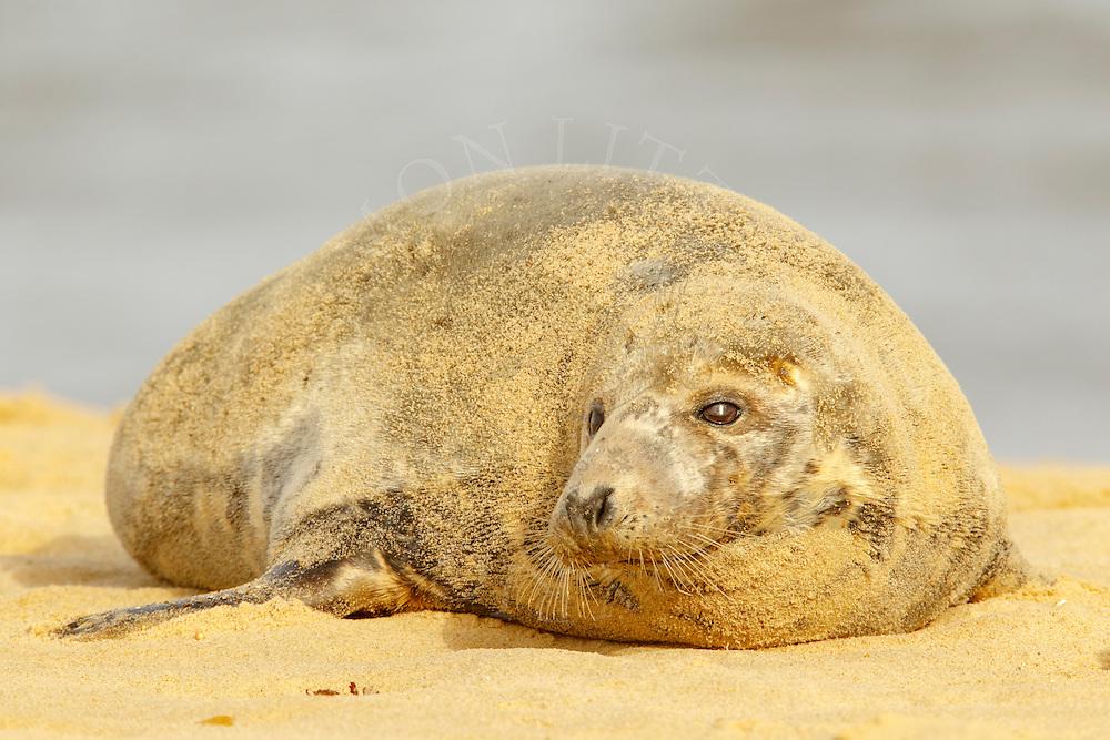Grey Seal (Halichoerus grypus) adult female, resting on sandy beach, Norfolk, England.