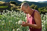 France, Languedoc Roussillon, Gard, Cévennes, oignons doux des Cévennes, Saint Martial, Philippe Léonard, oignons en fleur, inspection des fleurs pour les graines