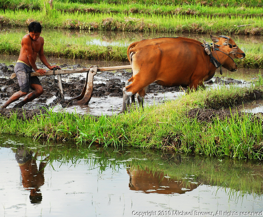 A farmer plowing his paddy field with 2 oxen in the traditional way.  Bali, Indonesia.