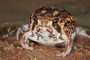 Bushveld rain frog (Breviceps adspersus adspersus)<br />