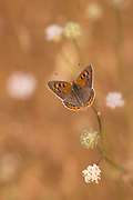 The Small Copper butterfly, American Copper or the Common Copper, (Lycaena phlaeas timeus) Butterfly Photographed in Israel, Summer June
