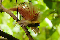 Goldie's Bird of Paradise (Paradisaea decora)<br />adult male at display site in the canopy performing his courtship display.