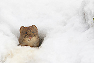 Bank Vole (Clethrionomys glareolus) adult emerging from snow covered burrow entrance, South Norfolk, UK. January.