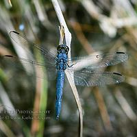 Great Blue Skimmer - (Libellula vibrans)