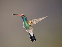 Broad-billed Hummingbird hovering, (Cynanthus latirostris), San Juan Cosala, Jalisco, Mexico