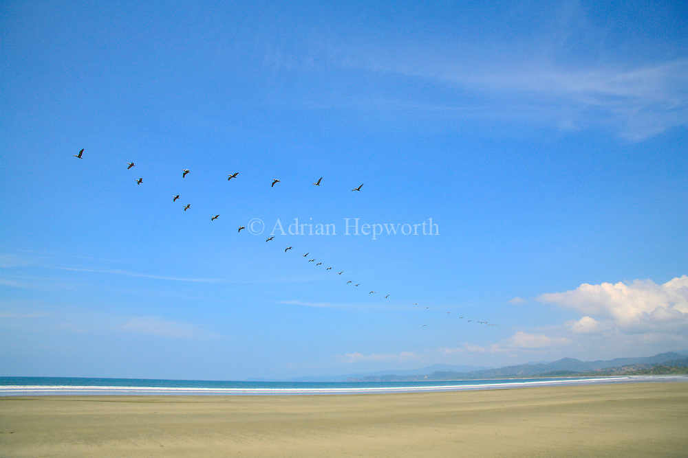 Brown Pelicans (Pelecanus occidentalis) over Coyote Beach, Guanacaste, Pacific coast of Costa Rica.  <br />
