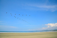 Brown Pelicans (Pelecanus occidentalis) over Coyote Beach, Guanacaste, Pacific coast of Costa Rica.  <br /> <br /> For pricing click on ADD TO CART (above). We accept payments via PayPal.
