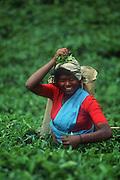Tamil tea plucker on an estate near Nuwara Eliya.