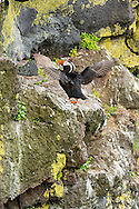 Tufted Puffin (Fratecula cirrhata) perched on cliff on St. Paul Island in Southwest Alaska. Summer. Afternoon.