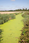 Eutrophication in drainage ditch Hollesley, Suffolk, England. Eutrophication is caused by the use of nitrate fertilisers in arable farming. Run off from the fields accumulates into drainage systems such as ditches and ponds and the added nutrients stimulate plant growth. The water surface becomes clogged with algae and this depletes available oxygen adversely effecting fish and other water creatures and plants.