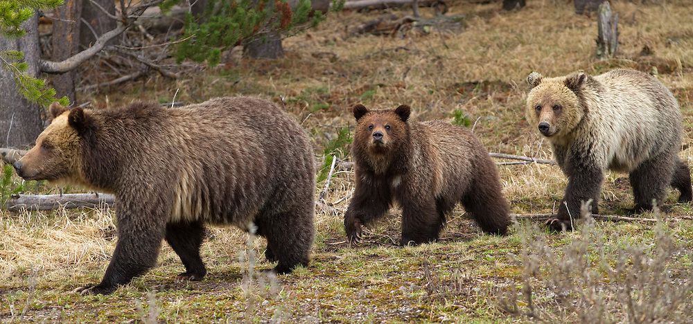 A grizzly sow guides her two-year-old cubs back to their home territory in Hayden Valley. The cubs were a little frightened by all the onlookers, but Mom was able to maneuver around the crowd to get them back into the trees. I'm pretty sure she's smarter than the average bear!