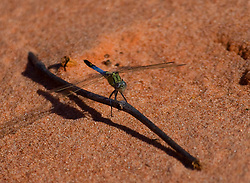 Blue dragonfly on pindan sand