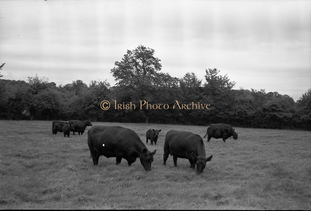 Aberdeen Angus herd at Clonacody House, Clonmel, Co. Tipperary..19.08.1961