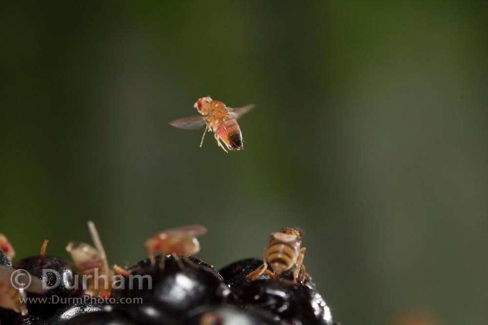 A fruit fly (Drosophila melanogaster) flying near a himilayan blackberry (Rubus armeniacus). Western Oregon.