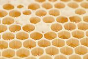 Honey bee (Apis mellifera), Kiel, Germany | Honigwabe der Honigbiene (Apis mellifera). Um eine Zelle einer Honigwabe zu füllen, mussen 5 Bienen einen Tag Sammeln, das entspricht 25 Sammelflügen.   Kiel, Deutschland