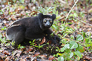 Indri <br /> Indri indri<br /> Male on the ground to eat soil<br /> East Coast of Madagascar