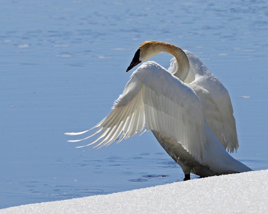 Trumpeter swans are one of the most imperiled birds in Yellowstone Park. 2011 population estimates show only a handfull of adult resident in the Park with no cygnets produced.