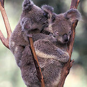 Koala, (Phascolarctos cinereus) Mother and baby. Australia.  Captive Animal.