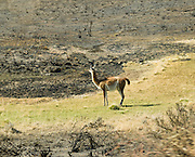 A guanaco regards burnt grass. As we drove into Torres Del Paine National Park, Chile, our driver received a surprise cell phone call informing us that a brush fire was burning down the park entrance station! The fire delayed our planned W Route Trek by two days.