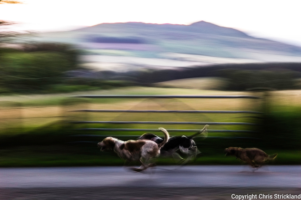Abbotrule, Bonchester Bridge, Hawick, Scotland, UK. 7th August 2015. Foxhounds of the Jedforest Hunt race towards their huntsmans horn, closely followed by a hunt terrier.