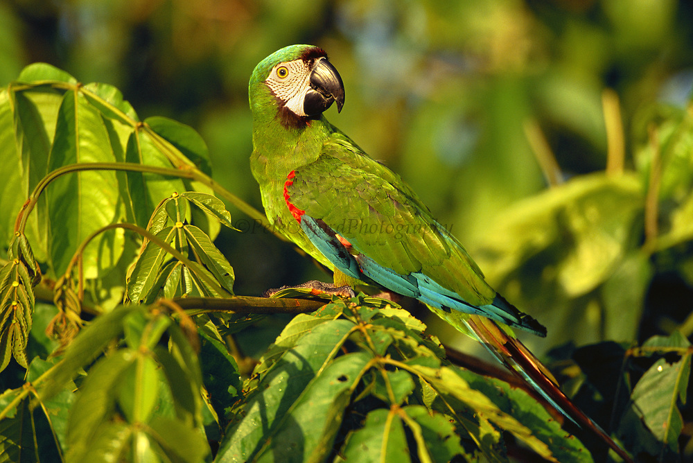 Chestnut-fronted Macaw<br />