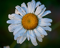 Daisy. Image taken with a Nikon D810A camera and 105 mm f/2.8 macro  VR lens