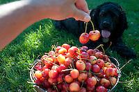 Marley the cocker spaniel eats cherries in the Okanagan, BC.