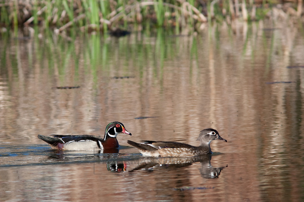 Wood Ducks float lazily in a pond feeding on water vegetation